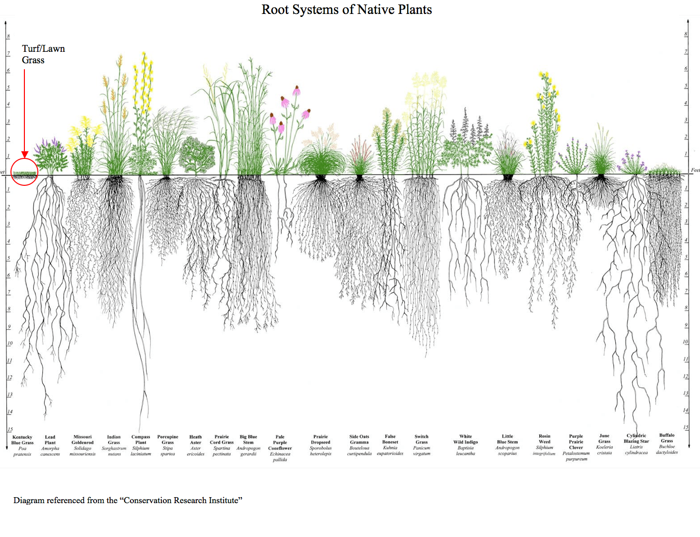 Root-Systems-Of-Native-Plants